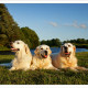 Mogi Hondenfotografie, hondenfotograaf, Golden Retriever, Golden