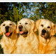 Mogi Hondenfotografie, hondenfotograaf, Golden Retriever, Golden