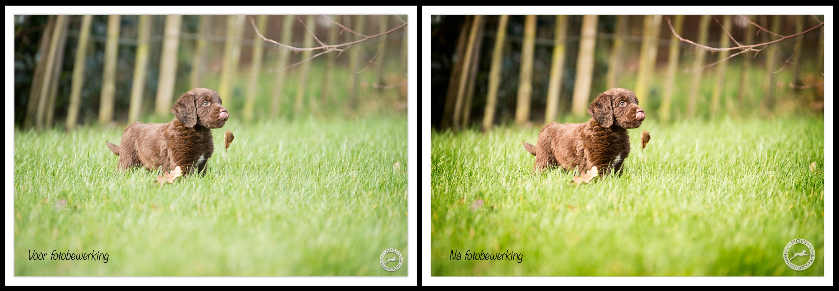 Voor en na professionele beeldbewerking door Mogi Hondenfotografie