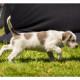 Mogi Hondenfotografie, hondenfotograaf, pup, puppy, Slowaakse Ruwharige Staande Hond, Grey Roan slowaakse ruwharige staande hond Bruno