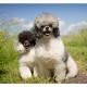 Mogi Hondenfotografie, hondenfotograaf, poedel