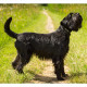 Mogi Hondenfotografie, hondenfotograaf, middenslag Schnauzer