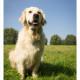 Mogi Hondenfotografie, hondenfotograaf, Golder Retriever