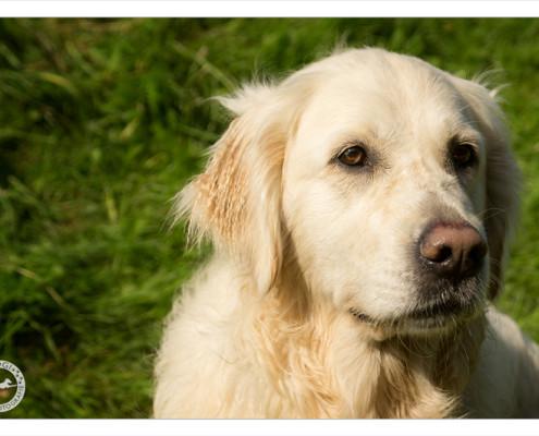 Mogi Hondenfotografie, hondenfotograaf, Golden Retriever