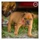 Mogi Hondenfotografie, hondenfotograaf, Bull Mastiff pup