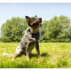 Mogi Hondenfotografie, hondenfotograaf, Australian Cattle Dog