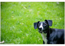 Mogi Hondenfotografie, hondenfotograaf, kruising, Lester