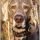 Mogi Hondenfotografie, hondenfotograaf, Kandor, Weimaraner