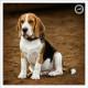 Mogi Hondenfotografie, hondenfotograaf, Beagle, Clubmatch Beagle Club Nederland