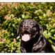 Mogi Hondenfotografie, hondenfotograaf, Labrador, zwarte Labrador, Lab