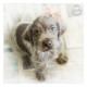 Mogi Hondenfotografie, hondenfotograaf, Slowaakse Ruwharige Staande Hond, pup