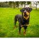 Mogi Hondenfotografie, Rescue Photo, Rottweiler Rescue Nederland, Noa, Rottweiler