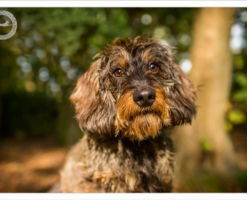 Mogi Hondenfotografie, hondenfotograaf, Teckel, ruwharige teckel