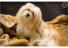 Mogi Hondenfotografie, Lhasa Apso, Zazou, hondenfotograaf