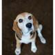 Mogi Hondenfotografie, hondenfotograaf, beagle