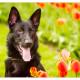 Vuk, Zwarte Duitse Herder, Duitse Herder, Mogi Hondenfotografie