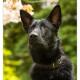 Duitse herder door Mogi Hondenfotografie