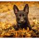 Mogi Hondenfotografie, Vuk, Duitse Herder, Zwarte Duitse Herder, pup