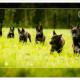 Duitse Herder, Zwarte Duitse Herder, pup, herderpup, Mogi Hondenfotografie