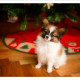 Vlinderhondje, Papillon, Bibi, pup, puppy, Mogi Hondenfotografie