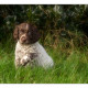 Mogi Hondenfotografie, hondenfotograaf, Duitse Staande Langharige Hond, DSL, Duitse Staande Langhaar, pup, pups, puppy, puppies