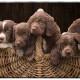 Duitse Staande Langharige Hond, Duitse Staande Langhaar, Duitse Staande Langhaar pups, puppies, Mogi Hondenfotografie, Hondenfotograaf, Hondenfotografie