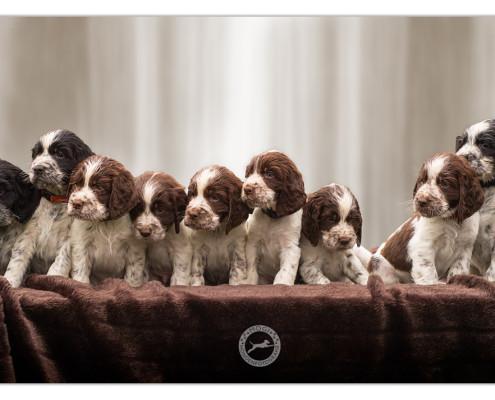 Engelse Springer Spaniel, Engelse Springer Spaniel pups, puppies, puppy, Mogi Hondenfotografie, hondenfotograaf, hondenfotografie