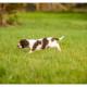 Mogi Hondenfotografie, hondenfotograaf, pup, puppy, Engelse Springer Spaniel, Engelse Springer Spaniël, ESS