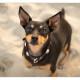 Dwergpincher door Mogi Hondenfotografie