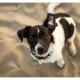 Kruising Jack Russel door Mogi Hondenfotografie