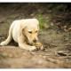 Hachi, Labrador Labradoodle pup door Mogi Hondenfotografie