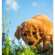 Golden Retriever pup door Mogi Hondenfotografie