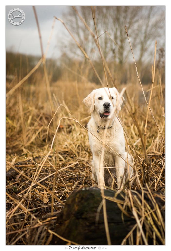 Dondertje De Golden Retriever Pup Mogi Hondenfotografie