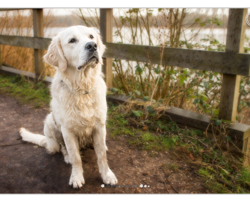 Golden Retriever Donder - door Mogi Hondenfotografie