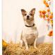 Banjer, Jack Russel door Mogi Hondenfotografie