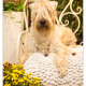 Flair, Irish Soft Coaten Wheaten Terrier door Mogi Hondenfotografie