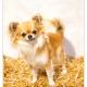 Gigi, Chihuahua door Mogi Hondenfotografie