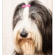 Kyara, Bearded Collie door Mogi Hondenfotografie