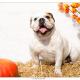 Lola, Engelse Bulldog door Mogi Hondenfotografie