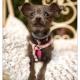 Sky, kruising Chinese Naakthond - Chihuahua door Mogi Hondenfotografie