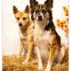 Tosca en Astor, kruising herder - Shiba Inu door Mogi Hondenfotografie