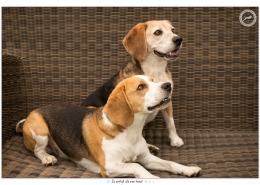 Beagles Balou en Bailey door Mogi Hondenfotografie