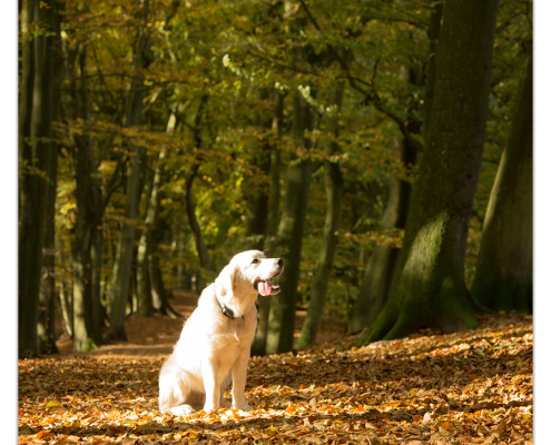 Dondertje, Golden Retriever door Mogi Hondenfotografie