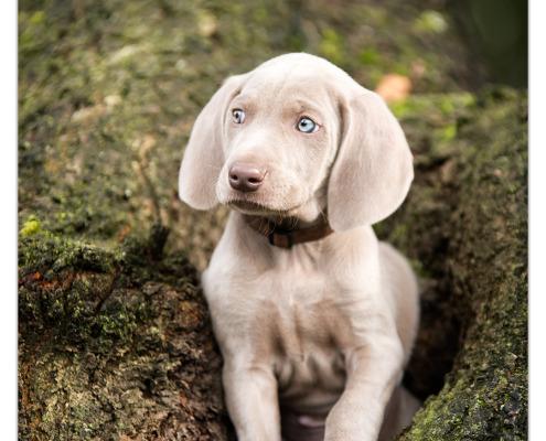 Weimaraner pup Kick door Mogi Hondenfotografie