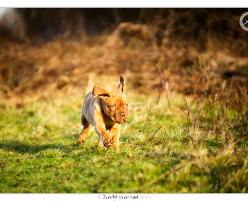 Bordeaux Dog pup Joy door Mogi Hondenfotografie
