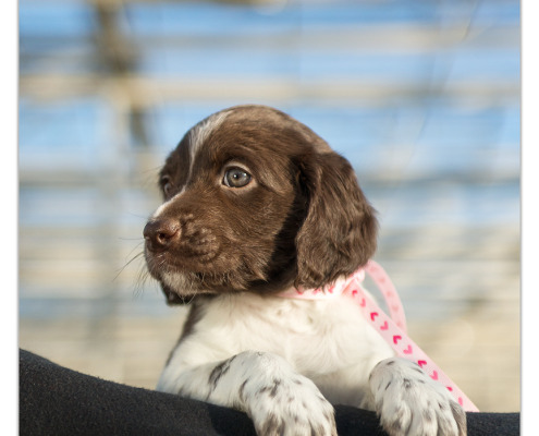 Heidewachtel pup door Mogi Hondenfotografie