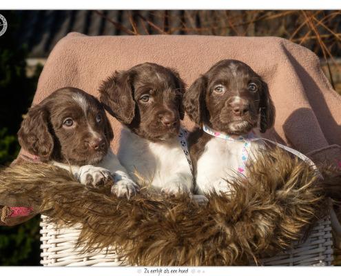 Heidewachtel pups, reutjes, door Mogi Hondenfotografie