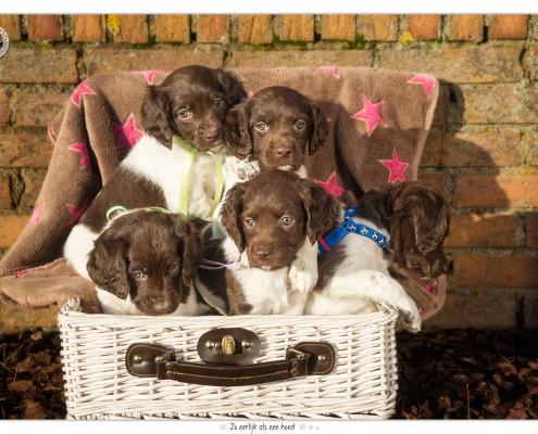 Heidewachtel pups, teefjes, door Mogi Hondenfotografie