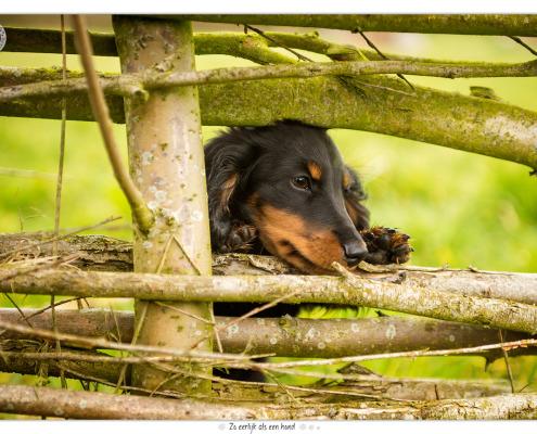 Jools, Langhaar Teckel pup - door Mogi Hondenfotografie