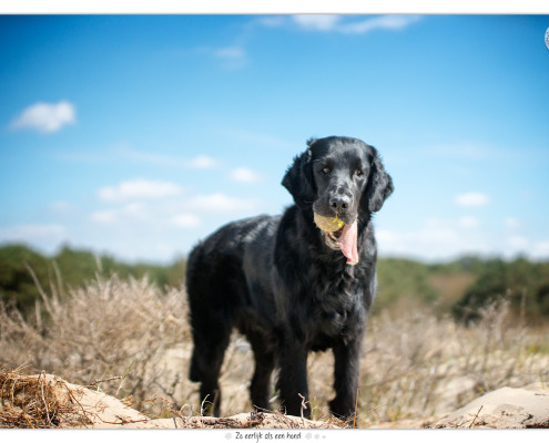 Flatcoated Retriever Mara - door Mogi Hondenfotografie